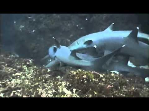 фото акулей секс