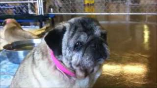 Seniors Of Pug Nation Of La.wmv