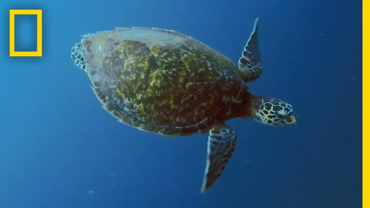 Sea Turtles 101   National Geographic