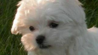 Yorkie Vs. Maltese !! Its A Tie -too Cute !!