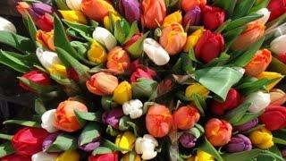 Красные тюльпаны на даче