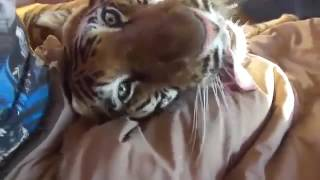 living with tigers home tiger