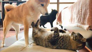 室内で過ごし始めた保護猫さん Play in the room with new cat thumbnail