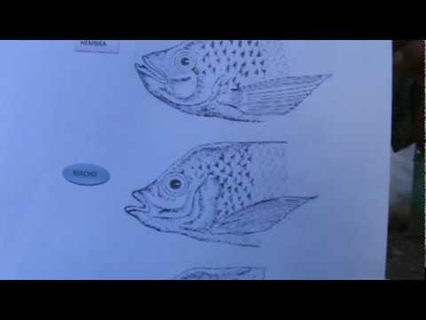Como criar mojarra tilapia apareamiento y reproduccion for Como criar truchas