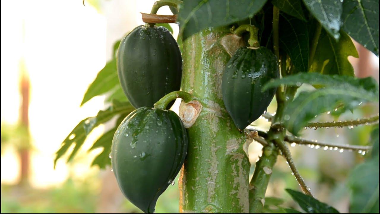 Pawpaw Fruit Tree Youtube