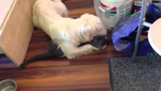 Собака воспитывает кота