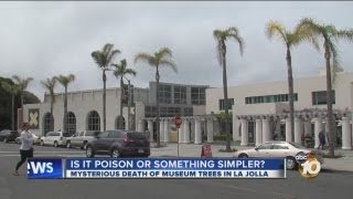 Experts look into cause of dying palm trees in front of La Jolla