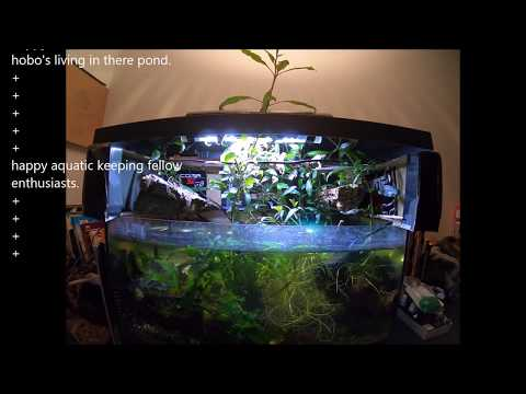 congo frog tank care advice and set up. TIP planted tank hymenochirus boettgeri/curtipes. TIP TIP