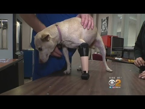 Orange County Students Hope Their Pet Project Gives Disabled Chihuahua A Leg Up On Life