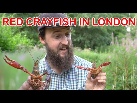 Red Crayfish In London: BRITISH ALIENS NATURE SERIES