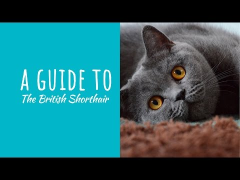A Guide To The British Shorthair Cat