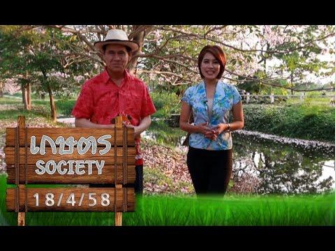 เกษตร Society 18/4/58 : ถนนสายชมพูพันธุ์ทิพย์ ม.เกษตรกำแพงแสน