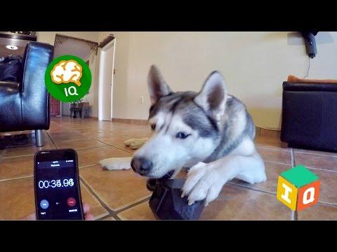 Testing My Dog's Intelligence - Dog Dispensing IQ Toy!