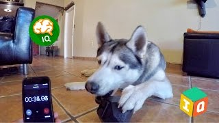 Testing My Dog's Intelligence - Dog IQ Treat Dispensing Toy!