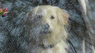 Goldendoodle Dog Videos For Children. Poodle & Golden Retriever Training With Funny Animals, No.27