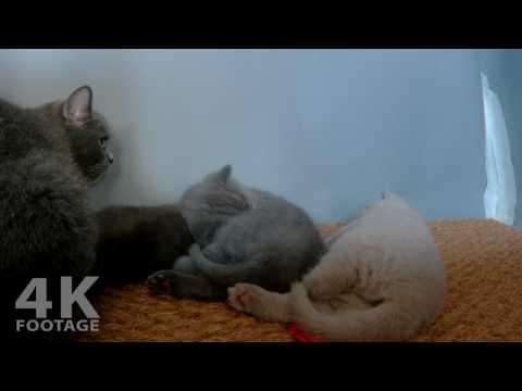 British Shorthair Mom Feeding her Kittens, 29 Days old, 15MIN