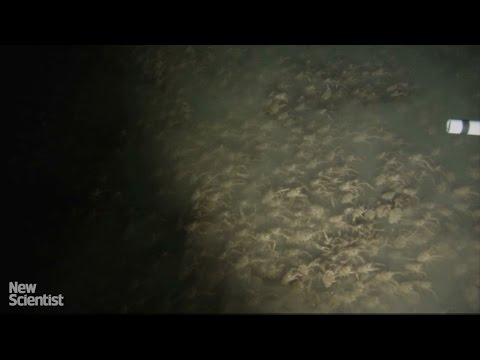 Mysterious swarm of crabs filmed off the coast of Panama