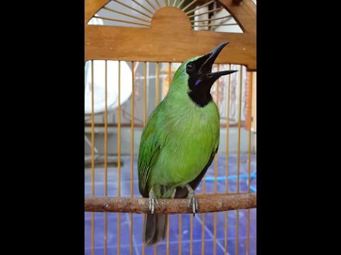 Aksi Suara Kicau Burung Cucak Ijo Gacor