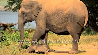 Mother elephant with new-born baby - tries her best to get it to stand