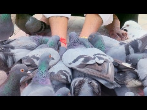 Feeding Pigeons, Jain Temple in Mattancherry, Kochi