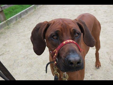 Roscoe - Rhodesian Ridgeback - 6 Weeks Residential Dog Training