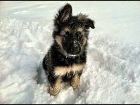 Cutest German Shepherd Puppies Ever Playing In The Snow Youtube