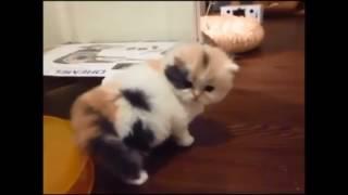 Lagu Anak   Kucingku belang tiga