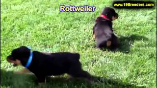 Rottwieler, Puppies, For, Sale, In, Lansing, Michigan, Mi, Oakland, Macomb, Kent, Genesee, Washtenaw