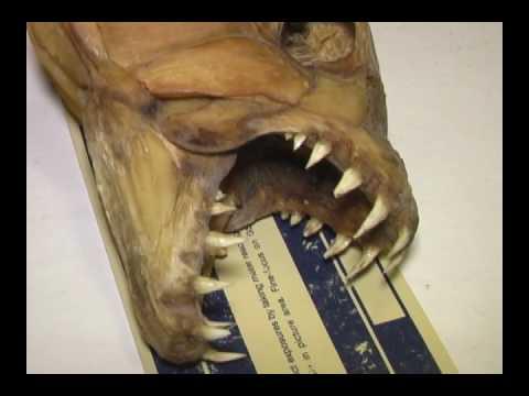 African Tigerfish Teeth And Skull