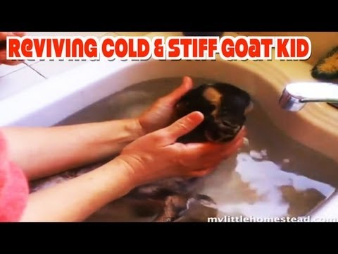 Reviving Cold & Stiff Goat Kid - At Home Treatment/Remedy