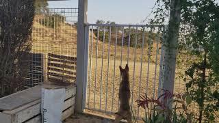 土狼出現∼絕難逃台灣犬的機靈!請續看:Dog vs Coyote 驅逐土狼的台灣犬! thumbnail
