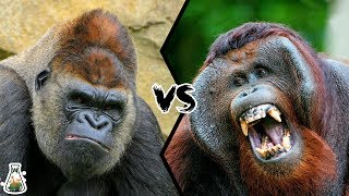 GORILLA VS ORANGUTAN  Who is the king of the Great Apes Family?