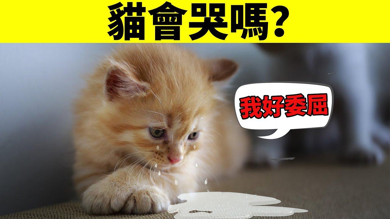 貓會哭嗎?貓會因為傷心和委屈流眼淚嗎?