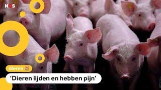 Slachthuizen overtreden soms de wet bij het slachten van varkens