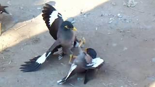 Бой птиц насмерть - редкие кадры. The birds fight to the death - rare footage.