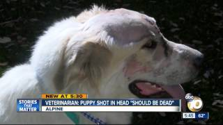 Veterinarian: Puppy shot in head 'should be dead'