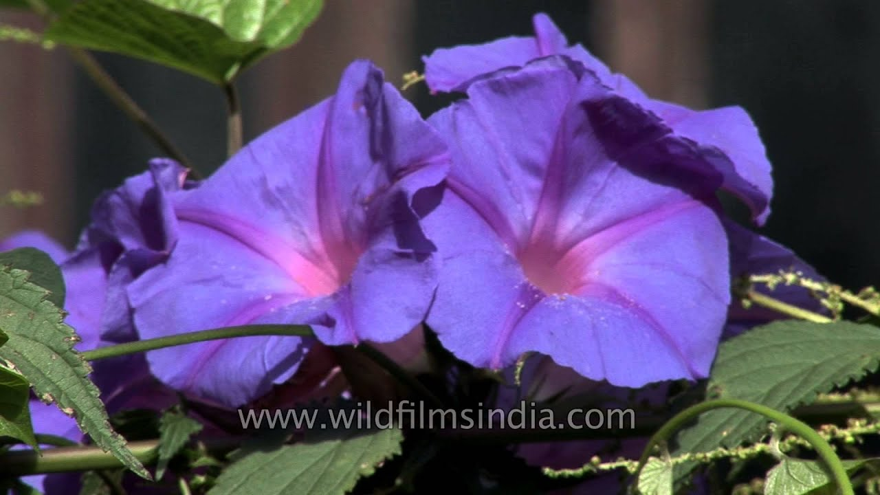 Morning Glory Or Ipomea Flowers On A Fence In Sikkim Youtube