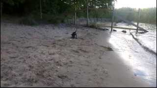 Prazsky Krysarik Junior at the dog beach. The water was a bit to co...