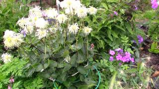 Княжики из семян.
