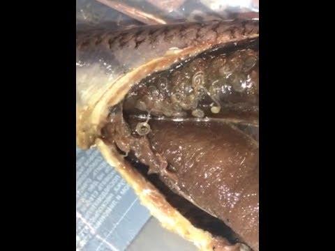ОПАСНО!!! Глисты в селедке осторожно! Селедка с глистами. // DANGEROUS! Worms in fish!