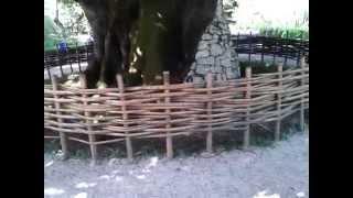 Абхазия   Сухум, Ботанический сад, Липа Кавказкая