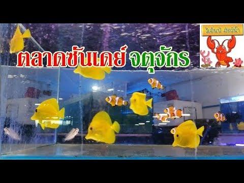 ปลาสวยงาม จตุจักร ตลาดซันเดย์  พ.ศ.2562