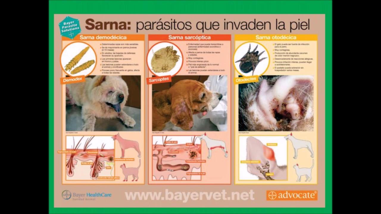 Sarna tratamiento casero perros