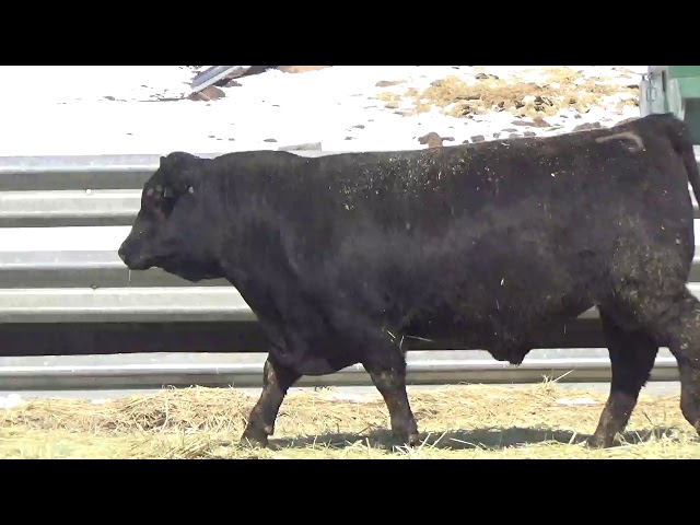 Connealy Angus Lot 437