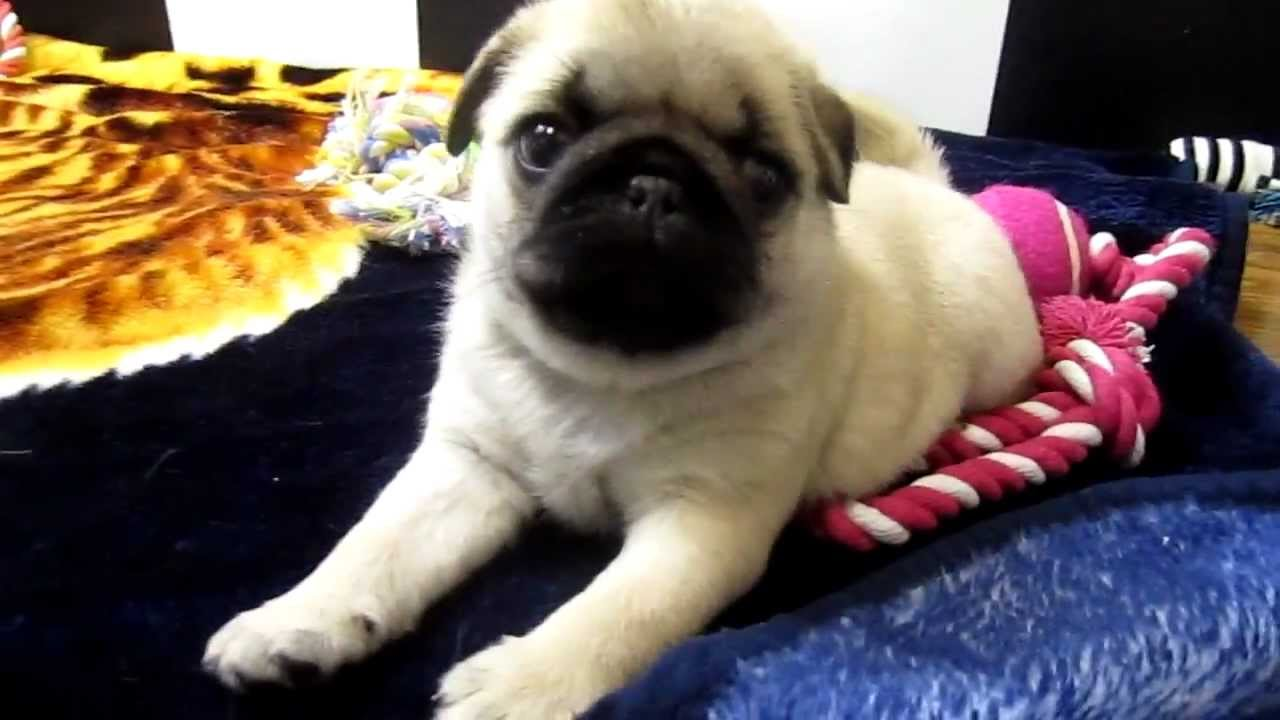 Pug Puppies of all colors - YouTube