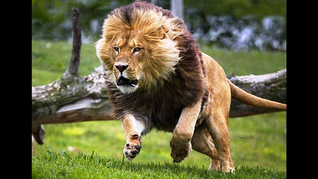 Lion Animal Wallpaper Le 227 O Atacando Guinu Ataque Surpreendente Animais