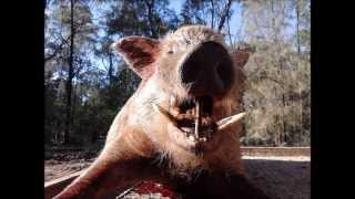 pilliga piggers hunting australia . big boar 100kg