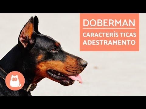 DOBERMAN  - Características e adestramento