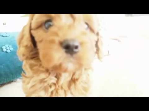 Petal's Toy Cavoodle Boy 9375 - Pocket Puppies