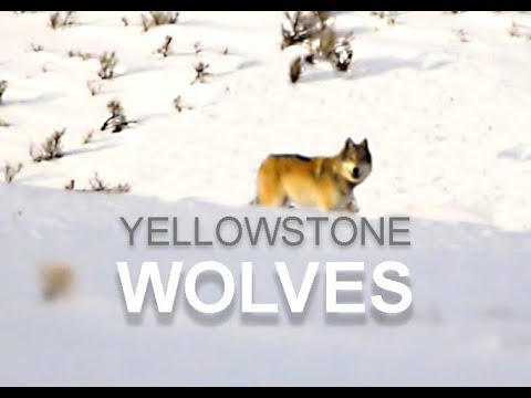 Wolves in Yellowstone National Park | Lamar Valley